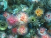 Colorful marine tubeworms and white plumose anemones were found during the bioblitz. These are not invasive.