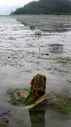 Crab traps are set out at low tide.
